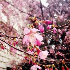 early blossoms (ekelly80) Tags: pink flowers tree washingtondc dc petals spring blossom nationalmall cherryblossoms march2015