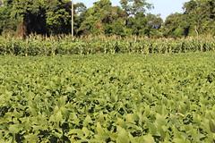 Soja en Paraguay05