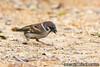 Eurasian tree sparrow (Passer montanus)_DSC5046-1