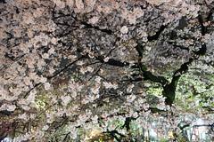 (nobuflickr) Tags: japan cherry kyoto  sakura  takasegawa kiyamachi   20150403dsc08302