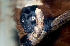 Red-Ruffed Lemur (John Greg Jr) Tags: animals cleveland clevelandmetroparkszoo mammals ohio primates redruffedlemur usa unitedstates zoo exif:isospeed=400 camera:model=nikond7100 exif:model=nikond7100 exif:make=nikoncorporation exif:aperture=ƒ80 exif:lens=1803000mmf3556 exif:focallength=300mm camera:make=nikoncorporation