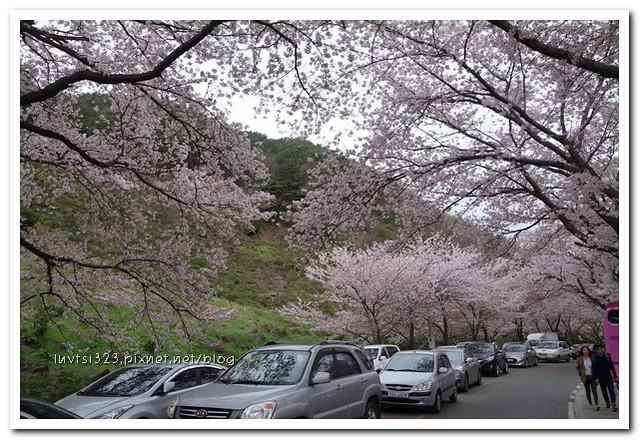 화개십리벚꽃길10