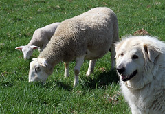 Boone the guardian (baalands) Tags: dog hair sheep pasture lamb livestock protection boone grazing guardian katahdin ewe