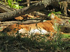 Dhole (1) (bookworm1225) Tags: zoo october 2014 minnesotazoo northerntrail tropicstrail