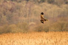 Marsh harrier { female } (Caleb4Ever) Tags: trees bird nature grass reeds wings wildlife feathers feather raptor birdofprey bif birdinflight marshharrier birdofpreyinflight caleb4ever