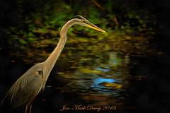 GBH - Waiting for fish (QuakerVille) Tags: wildlife greatblueheron heron bigbird florida wetland orlandowetland orlando marsh fishing bird birds jonmarkdavey