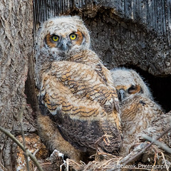 I'll sleep you keep watch (greg obierek) Tags: bird nature canon spring pennsylvania wildlife owl lancastercounty avian birdofprey greathornedowl bubovirginianus owlets ef500mmf4isl eos7dmkii