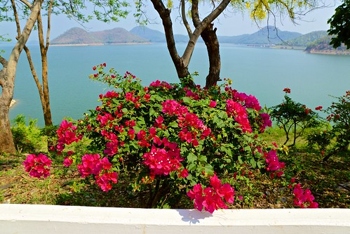 Red Bougainvilleas near the dam of Srinakarin lake in Kanchanaburi province, Thailand