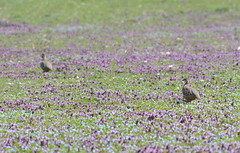 Red-legged Partridges (Alectoris rufa) (Claire Sell) Tags: purple southdowns kithurst partridges redleggedpartridge alectorisrufa