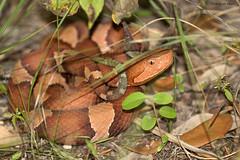 Copperhead (*Ryan Shaw) Tags: copperhead