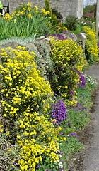 Aubretia and Alyssum Saxatile at Tissington (Blue sky and countryside.) Tags: park flowers england plants spring pentax district derbyshire peak national limestone drystonewall daffodils alyssum alpines potofgold saxatile aubretia tissington