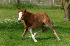 Twist (Heiko Schneemann) Tags: pferde foal fohlen lifeiscrazy