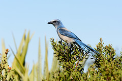 MINWR-261.jpg (Candy Perk) Tags: bird birds processed scrubjay merrittisland