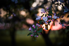 (jakub.sulima) Tags: pink trees light sunset orange plants sunlight white flower colour green apple nature leaves sunshine garden 50mm evening spring flora nikon bokeh outdoor natur may serene nikkor depth d3200 bokehlicious