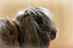Beelzebunny? (Pog's pix) Tags: portrait pet brown cute rabbit bunny eye closeup scotland head longhair indoor indoors ear inside bella brindle scared rescued houserabbit lionhead ayrshire lop stewarton rescuedpet foreverhome eastayrshire indoorrabbit