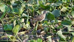 Common Sandpiper (jhureley1977) Tags: india birds commonsandpiper jabalpur indiabirds jabalpurbirds