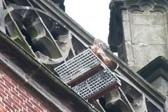 IMG_6847  Juvenile (gipukan (rob gipman)) Tags: holland tower netherlands eos fly toren nederland rover 7d falcon hunter juvenile amersfoort jong jager slechtvalk valk olv peregrinefalcon vliegen falcoperegrinus canon100400l langejan preybird kenkopro