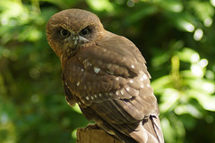 Little Owl (clare.blandford) Tags: hawk events andover timeline birdsofprey conservancy