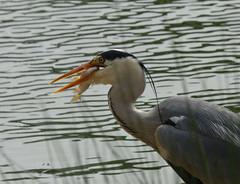 Heron (Peanut1371) Tags: fish bird heron water reeds grey nationalgeographicwildlife