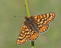 Marsh fritillary (Roger H3) Tags: butterfly insect lepidoptera marsh fritillary