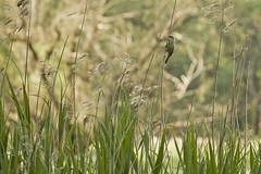 somewhere in the reed (Bucka Stone) Tags: lake bird reed nature animal bug poland trojan warbler mierzwice podlaskiprzeombugu buckastone
