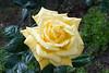 IMG_7608 (Alessandro Grussu) Tags: canon 20d fiore flower blume fiori flowers blumen pianta plant pflanze macro rosa rose gialla yellow gelbe