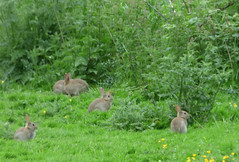Evening bunnies (Lexie's Mum) Tags: dog bunnies nature grass walking countryside rabbits lester grazing alert wak weddington