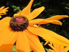 spider_12 (transport131) Tags: spider pajk garden ogrd kwiat flower