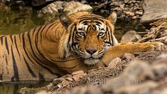 TIG01154GB_1 (giles.breton) Tags: india tiger tigers endangered ranthambhore panthera threatened andyrouse ranthambhorenationalpark pantheratigristigris royalbengaltiger dickysingh