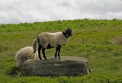 King of the Castle (RoystonVasey) Tags: canon sheep walk derbyshire powershot lamb hs ewe sx260