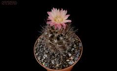 Neochilenia chorosensis (Nyxtofulakas) Tags: cactus plant flower nature succulent cactaceae spines eriosyce neochilenia neoporteria pyrrhocactus heinrichiana chorosensis