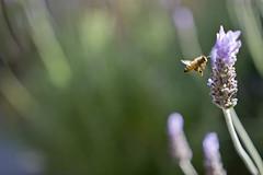 Pilot engage (Tony Medina) Tags: life light summer flower bee fertility pollination