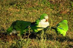 Reunion. (jagar41_ Juan Antonio) Tags: aves ave cotorra loros loro animales