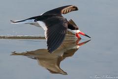 Rubino Black Skimmer fishing 20160626 Bolsa Chica Ecological Reserve 114 (Ryan Rubino) Tags: rynchops niger black skimmer skimming fishing flight ca
