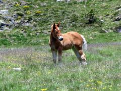 P1000235 (Franois Magne) Tags: cheval libert poulain jument blond blonde bai frange montagne etang lanoux estany de lanos lac pyrnes