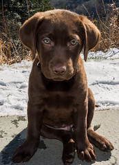 2 and half months old (Bryan Adams Photography) Tags: puppy labrador chocolate retriever labradorretriever