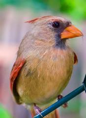 Cardinal strikes a pose (031546) Tags: cardinal bird iphone