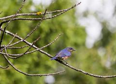 my first Bluebird (LASCAR35) Tags: bluebird merlebleudelest bird danville