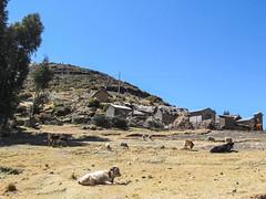 """Lac Titicaca: des vaches, des ânes, des moutons, tous cohabitent ensemble ici sur l'Isla del Sol... <a style=""""margin-left:10px; font-size:0.8em;"""" href=""""http://www.flickr.com/photos/127723101@N04/27982128174/"""" target=""""_blank"""">@flickr</a>"""