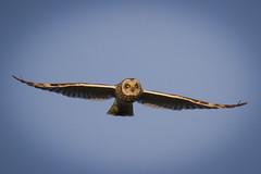 Brandugla / Short-eared Owl (Benedikt Halfdanarson) Tags: owl shortearedowl asioflammeus fuglar ugla flyingowl icelandicbirds brandugla íslenskirfuglar fljúgandiugla