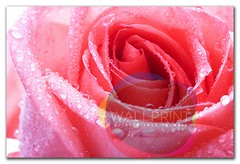 rose (wallprintco,.ltd) Tags: background beautiful beauty bloom blooming blossom botanical bright buds closeup color covered day details dew dewy droplets drops floral flowers fresh gardens gift give light love macro mornings natural nature occasion open petals yellow plant rain romance romantic roses spring summer sun sunny valentines water weddings wet white women
