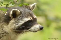 wasbeer (Agnes Van Parijs) Tags: wasbeer procyonlotor raccoon roofdier zoogdier ratonlaveur dierenpark planckendael muizen mechelen zoo