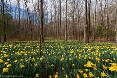 Daffodil Flats - Linville Gorge (Daniel Burleson) Tags: flowers mountains river spring northcarolina western appalachian daffodils linvillegorge blueridge wnc shortoff daffodilflats