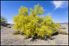 Paloverde Tree in Full Bloom (K-Szok-Photography) Tags: california canon desert socal canondslr paloverde amboy flowercolors desertbeauty sbcusa kenszok kszokphotography