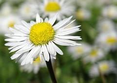 One daisy amongst many (VillaRhapsody) Tags: flower garden dof lawn daisy challengeyouwinner grassdaisy challengeclubchampions