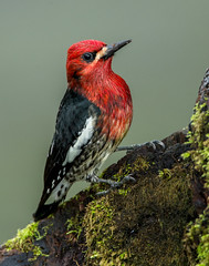 Red-breasted Sapsucker (Eric Gofreed) Tags: canada britishcolumbia vancouverisland sapsucker redbreastedsapsucker