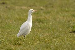 DSC_3803 koereiger (Bubulcus ibis)