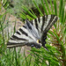 Scarce Swallowtail. Iphiclides podalirius feisthamelii. First brood male minus one tail