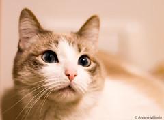 Gata (Alvaro Villoria) Tags: monochrome animal cat chat gato katze gatto mascota animale gat tier monocromtico maskottchen monochromatique monocromtica