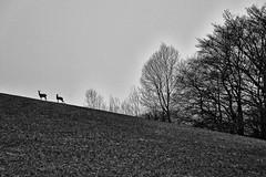 Samstagmorgen (RadarO´Reilly) Tags: wood bw germany landscape deutschland blackwhite nrw sw landschaft wald roedeer rehe iserlohn schwarzweis